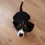 εκπαιδευση σκυλων beagle