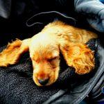 εκπαίδευση σκύλων Κοκερ