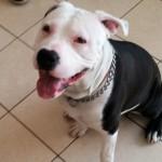 θετική εκπαίδευση σκύλων pit bull