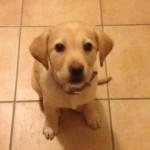 Θετική εκπαίδευση σκύλων labrador