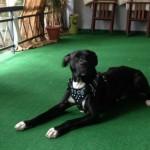 Θετική εκπαίδευση σκύλων pitbull