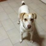 θετική εκπαίδευση σκύλων ημίαιμο Jack Russell