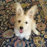 Εκπαιδευση σκύλων maltez
