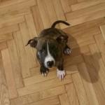 Θετικη Εκπαιδευση σκυλων pit bull