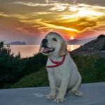 Εκπαιδευση σκυλων λαμπραντορ