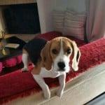εκπαίδευση σκύλων beagle