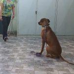 Εκπαίδευση σκύλων Ροδεσιανό